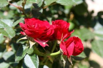 La rosa sbiadita … e l'ape impaurita!